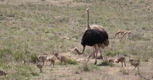 Avestruz, camelus del struthio, varón, hembra y polluelos caminando a través de la sabana, parque nacional de Nairobi en Kenia, metrajes