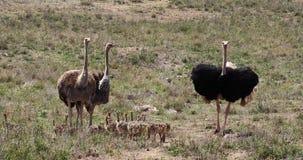 Avestruz, camelus del struthio, varón, hembras y polluelos caminando a través de la sabana, parque nacional de Nairobi en Kenia, almacen de metraje de vídeo