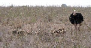 Avestruz, camelus del struthio, varón y polluelos caminando a través de la sabana, parque nacional de Nairobi en Kenia, metrajes