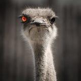 Avestruz com olho vermelho Imagens de Stock Royalty Free