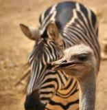 Avestruz com a zebra no fundo Fotografia de Stock