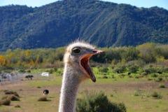 Avestruz con la boca abierta de par en par Fotos de archivo