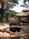 Avestruz con la boca abierta detrás de una cerca Imagen de archivo