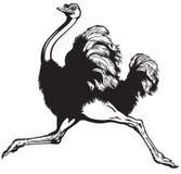 Avestruz corriente libre illustration