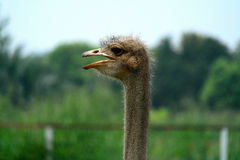 A avestruz da avestruz head Imagens de Stock Royalty Free