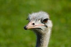 A avestruz da avestruz head Foto de Stock Royalty Free