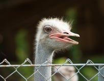 A avestruz da avestruz head Fotos de Stock