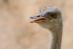 Avestruz da boca-cabeça do close up Imagem de Stock