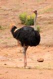 Avestruz de Commun - camelus do Struthio Foto de Stock Royalty Free