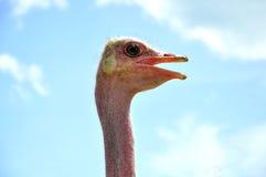 Avestruz de grito Fotos de Stock Royalty Free