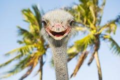 Avestruz de sorriso Imagem de Stock