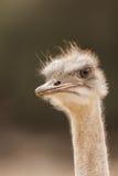 Avestruz desconfiada que mira a un lado el parque del safari Fotos de archivo