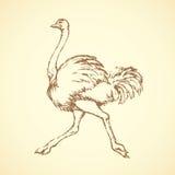 Avestruz Desenho do vetor Foto de Stock