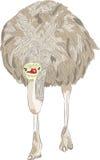 Avestruz do africano do vetor Imagens de Stock