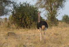 Avestruz do Masai, igualmente conhecida como a avestruz cor-de-rosa-necked fotos de stock