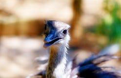 Avestruz do pássaro e fundo do borrão Camelus do Struthio Pássaro de sorriso Imagens de Stock