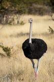 Avestruz em Namíbia foto de stock royalty free