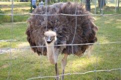 Avestruz em um jardim zoológico Imagens de Stock Royalty Free