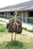 Avestruz em uma exploração avícola Imagem de Stock Royalty Free