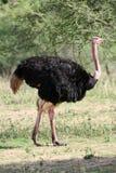 Avestruz en África Imagen de archivo libre de regalías