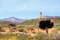 Avestruz en el Karoo Imagenes de archivo