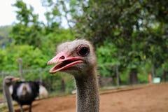 Avestruz en mini parque zoológico en Kuantan imagen de archivo libre de regalías