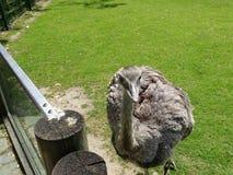 Avestruz en parque zoológico en Baviera en Alemania en Augsburg fotografía de archivo libre de regalías
