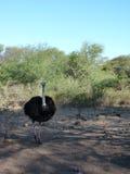 Avestruz en Safari Road Fotos de archivo