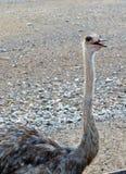 Avestruz en Sir Baniyas Island Reserve Foto de archivo