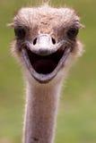 Avestruz en su cara Fotografía de archivo libre de regalías