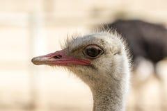 Avestruz en un fondo neutral Fotografía de archivo libre de regalías