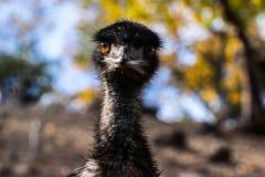 Avestruz en una granja en Calistoga Fotos de archivo libres de regalías