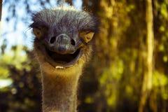 Avestruz engraçada que olha em linha reta à câmera imagem de stock