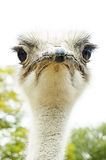 Avestruz enojada Fotos de archivo