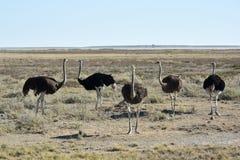 Avestruz - Etosha, Namíbia Fotografia de Stock Royalty Free