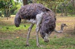 A avestruz fêmea forrageia para o alimento Imagens de Stock Royalty Free