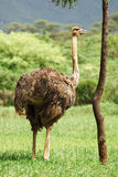Avestruz femenina Foto de archivo libre de regalías