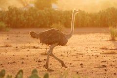Avestruz femenina, parque de Amboseli, Kenia Imagen de archivo libre de regalías