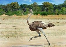 Avestruz femenina que corre a través de los llanos de Hwange foto de archivo