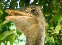 A avestruz fresca está sorrindo Close-up Imagem de Stock