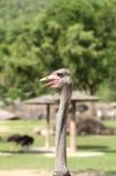 Avestruz hermosa en el parque zoológico Imágenes de archivo libres de regalías