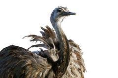 Avestruz isolada no fundo branco Imagens de Stock