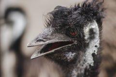 A avestruz m? grande no prado fotografia de stock