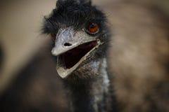 A avestruz m? grande no prado foto de stock royalty free