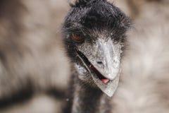 A avestruz m? grande no prado fotos de stock