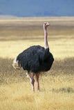 Avestruz majestuosa Imagen de archivo libre de regalías