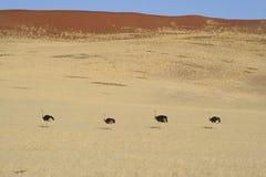 A avestruz março Imagem de Stock