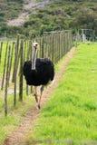 Avestruz masculina Foto de Stock Royalty Free