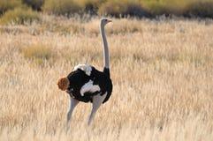 Avestruz masculina Fotografía de archivo libre de regalías