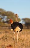 Avestruz masculina Fotografia de Stock Royalty Free